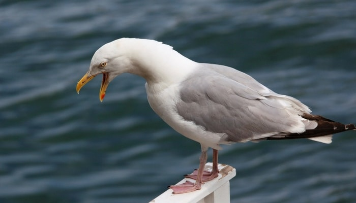 angry-seagull-min